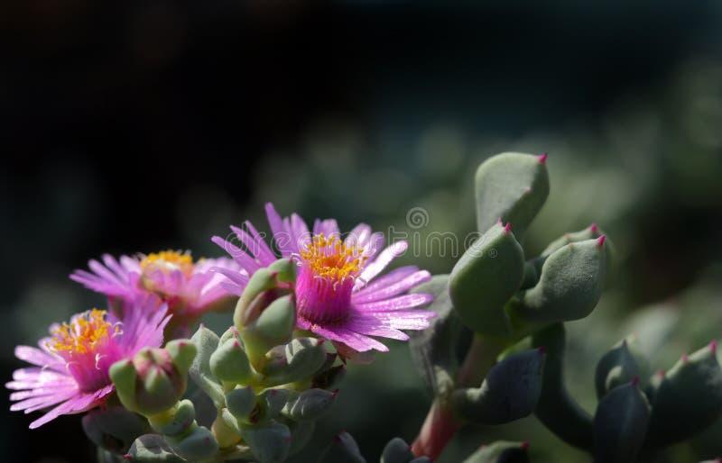 Suckulenta växter blommar härligt attraktivt fotografering för bildbyråer