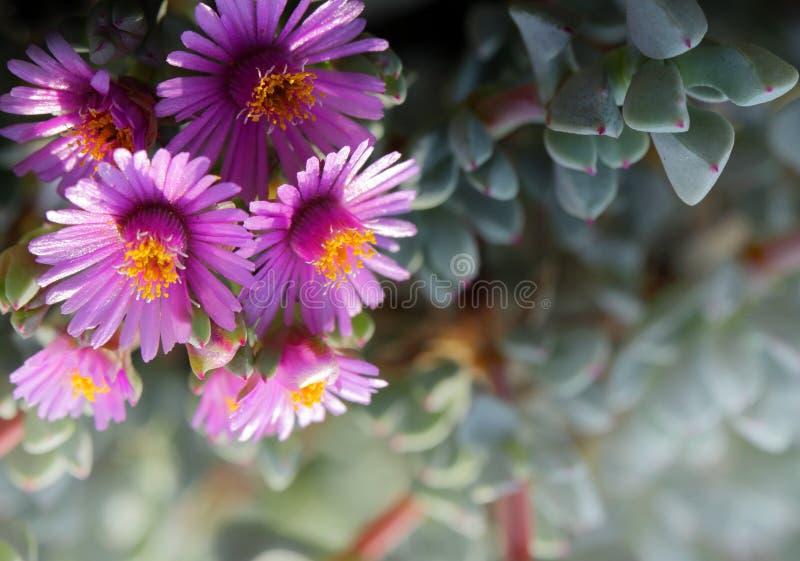 Suckulenta växter blommar härligt attraktivt arkivfoton