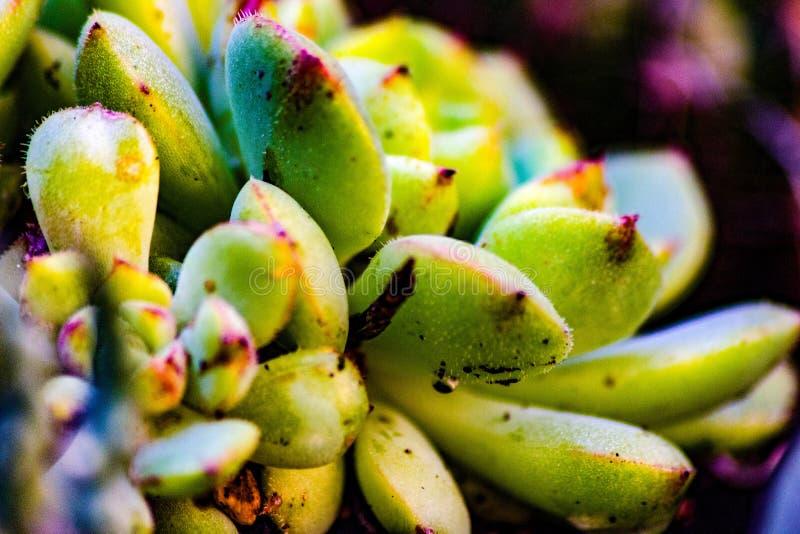 Suckulenta växter felaktigt, suckulenta växter kallas de växter som begåvas med särskilda 'suckulenta 'tyger, en akvifer p royaltyfri foto