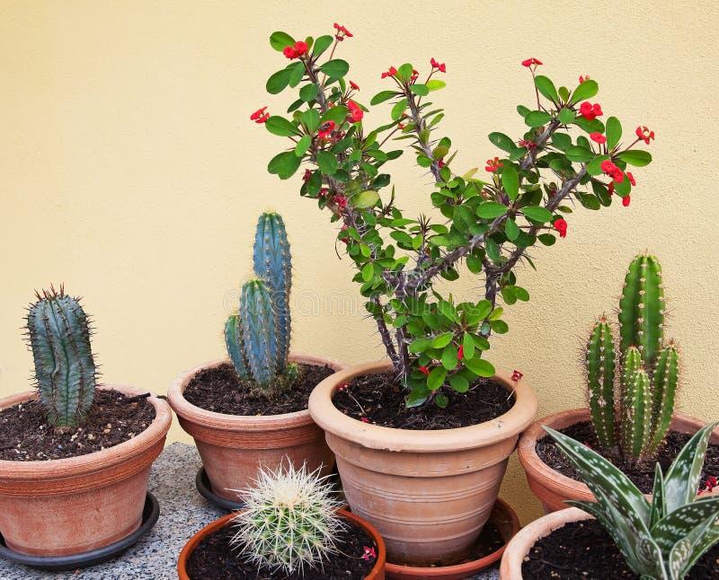 Suckulenta växter i kruka fotografering för bildbyråer