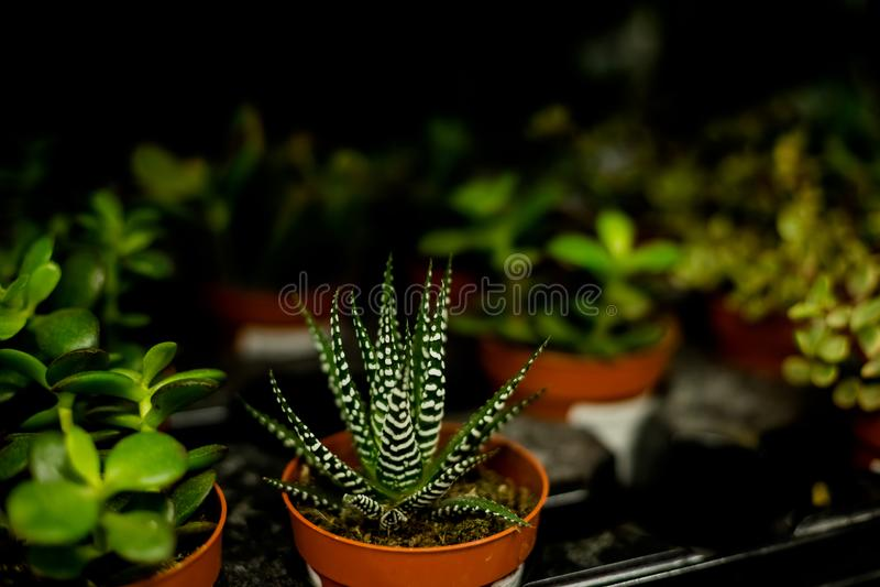 suckulenten planterar modern rumgarnering Kaktushuset planterar samlingen liten kaktus i blomkrukan som i rad ligger, grupp royaltyfria bilder