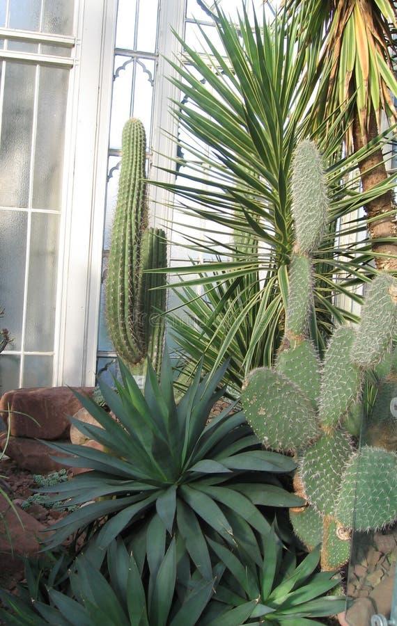 Suckulenter i växthuset royaltyfria foton
