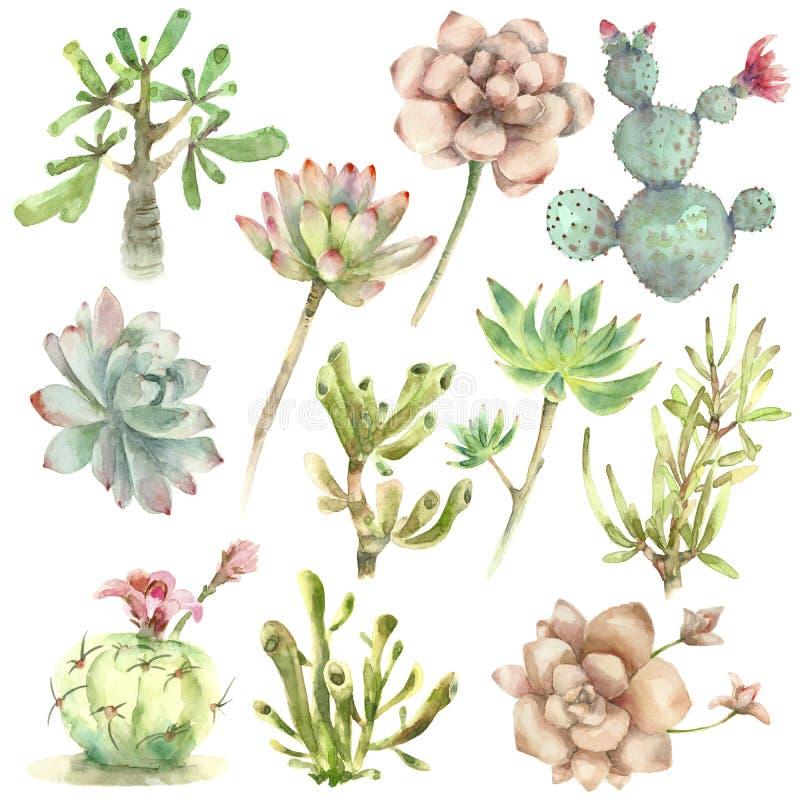 Suckulenter i vattenfärg vektor illustrationer