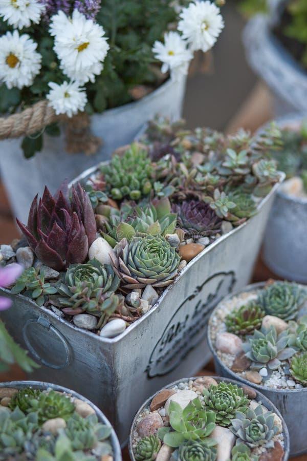 Sucullents en potes Décor casero creciente Decoración botánica verde imagen de archivo