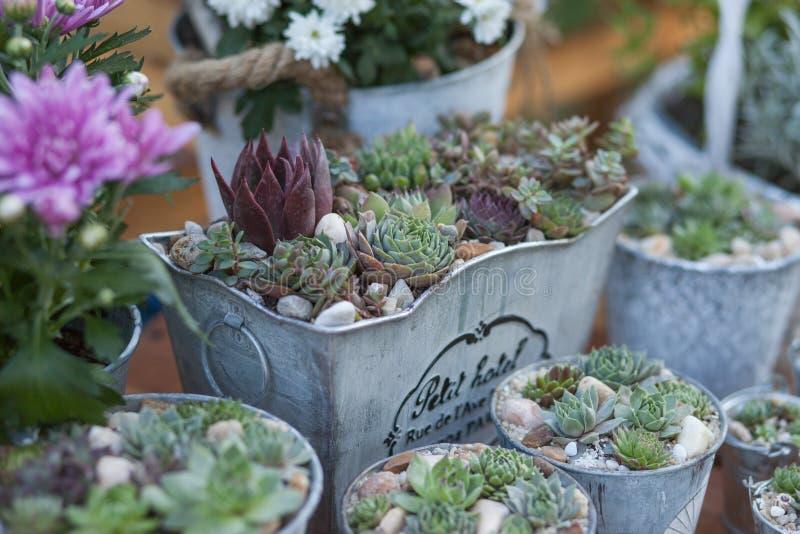 Sucullents en potes Décor casero creciente Decoración botánica verde fotografía de archivo libre de regalías