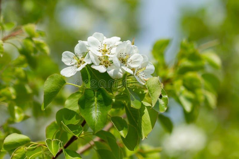Sucursal con flores de pera fotografía de archivo