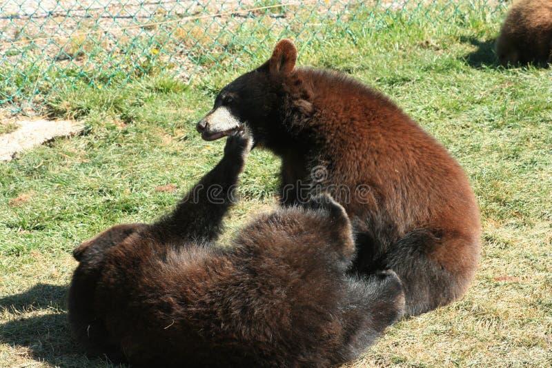 Sud Dakota dei cuccioli di orso bruno fotografia stock