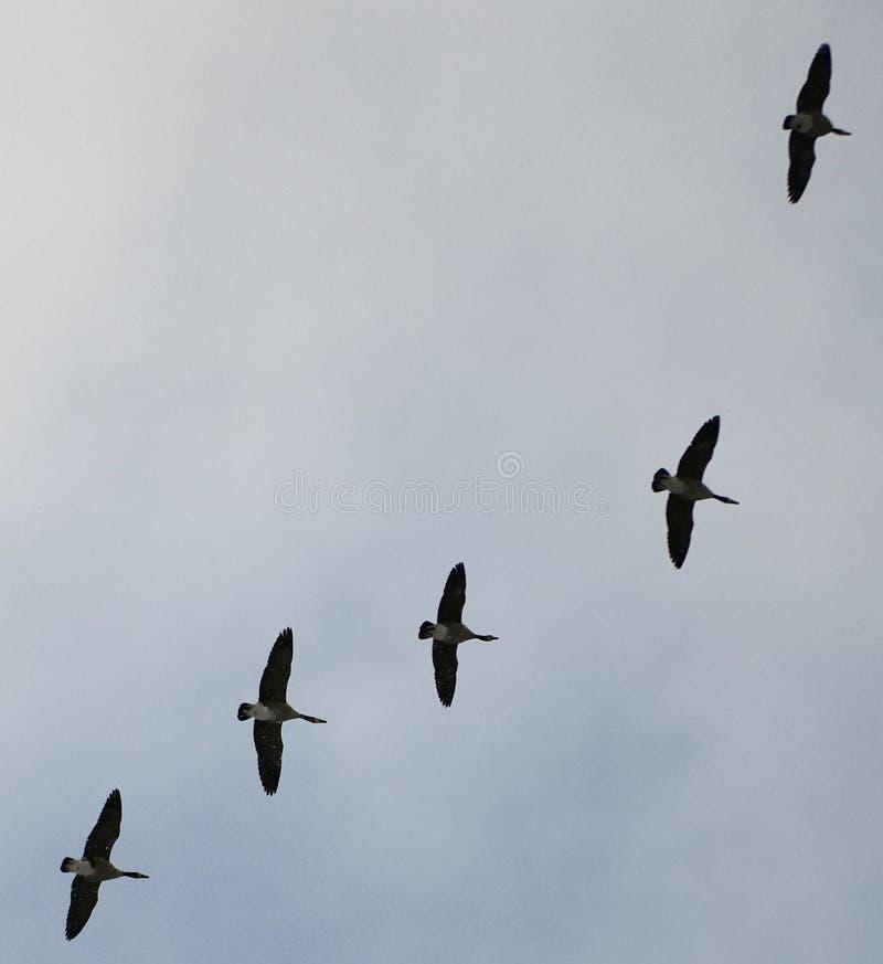 Sud de vol d'oies du Canada images libres de droits