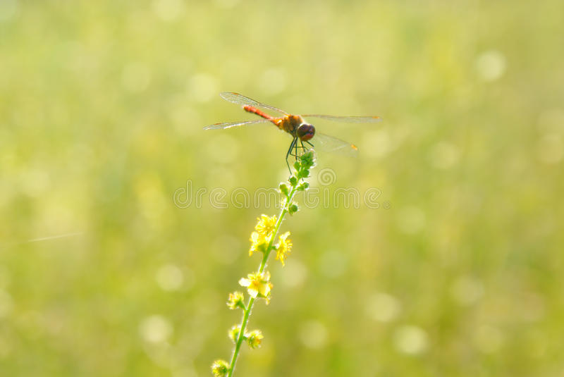 Suddig bakgrund för gul gräsplan av äng med en slända - 2 arkivbild