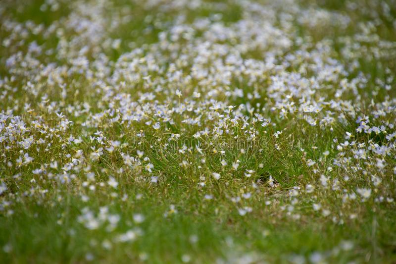 Suddig bild av sm? vita blommor bland gr?s royaltyfri foto