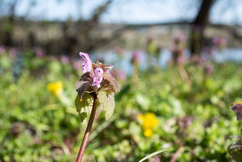 Suddig flod för violett lös för blommamakro för vår härlig blomning för natur på bakgrund royaltyfria foton