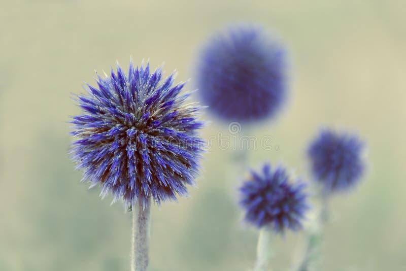 Suddig modell för blomma - blommor av blåa tistlar Suddiga blommor i bakgrunden royaltyfria bilder