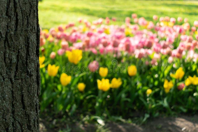 Suddig rosa och gul tulpan- och för trädstam bakgrund Ljus bakgrund för defocustulpanblomsterrabatt arkivfoto