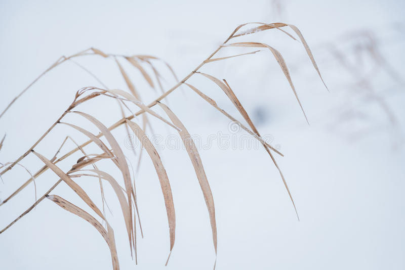 Suddig vinterbakgrund, snöflingor för torrt gräs royaltyfria bilder