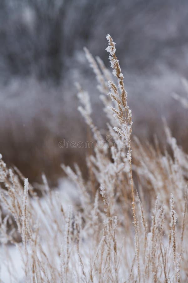 Suddig vinterbakgrund, snöflingor för torrt gräs royaltyfri bild