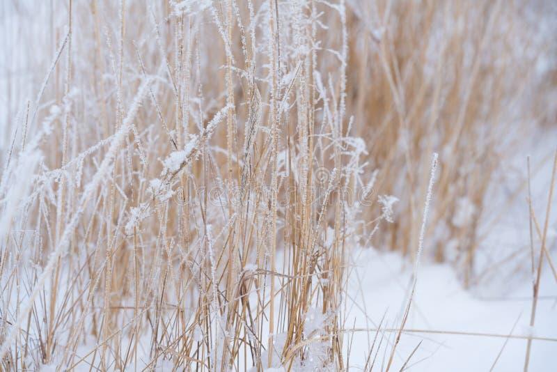 Suddig vinterbakgrund, snöflingor för torrt gräs royaltyfri fotografi