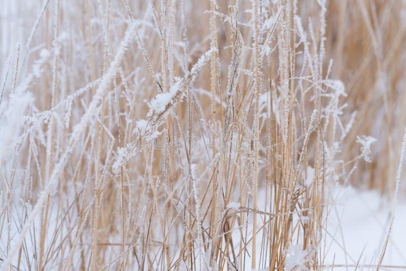 Suddig vinterbakgrund, snöflingor för torrt gräs royaltyfri foto