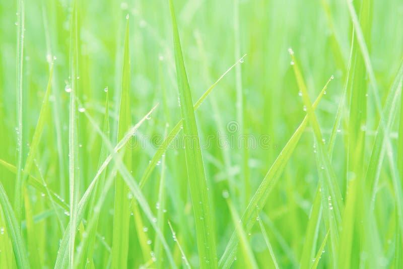 Suddiga gröna rissidor med vattendroppar arkivbild