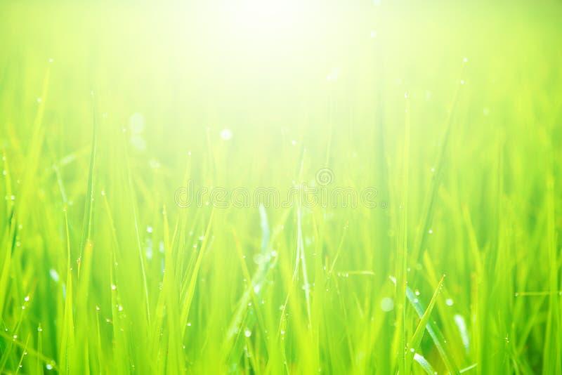 Suddiga gröna rissidor med vattendroppar och naturligt ljus fotografering för bildbyråer