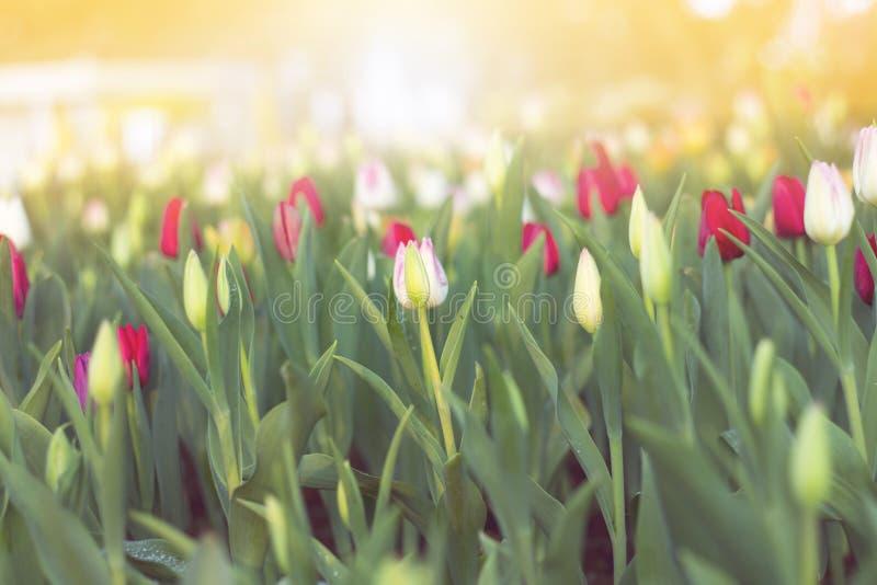 Suddiga härliga tulpan som blommar i vårträdgård royaltyfri foto