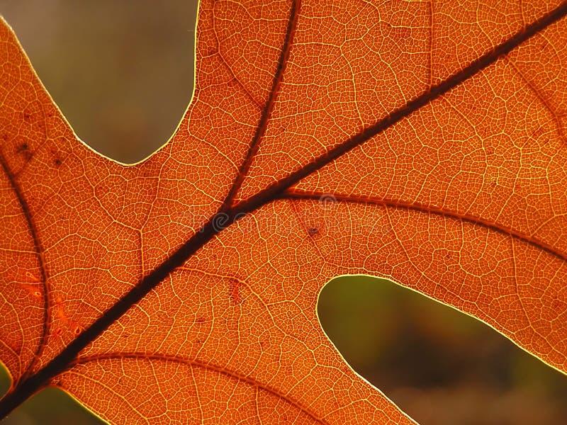 Suddighet Leafoak För Höst Bakgrund Arkivfoto
