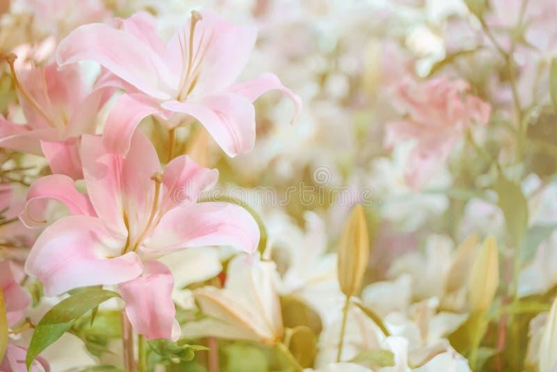 Suddighet och mjukt begrepp av härliga för rosa färger blommor lilly för bakgrund arkivfoto