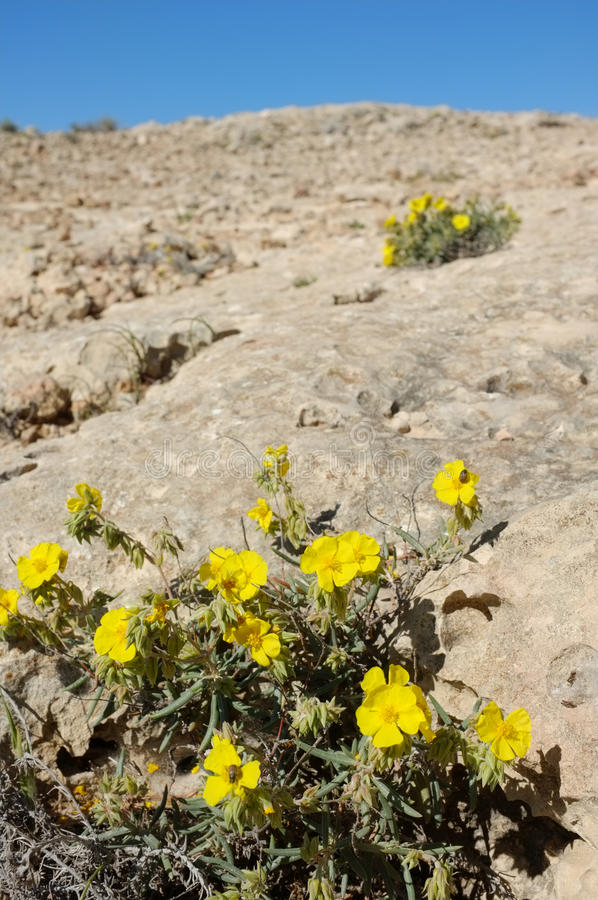 Sudnrop on rocky soil