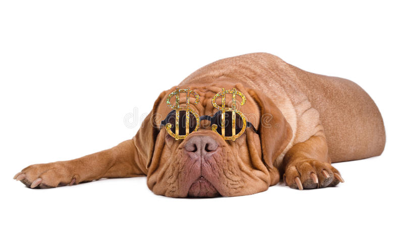 Sueño americano. Perro con los vidrios de la muestra de dólar fotografía de archivo libre de regalías