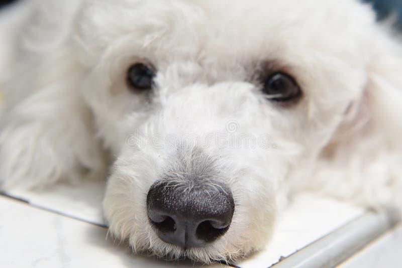 Sueño blanco del perrito delante de la casa imagen de archivo
