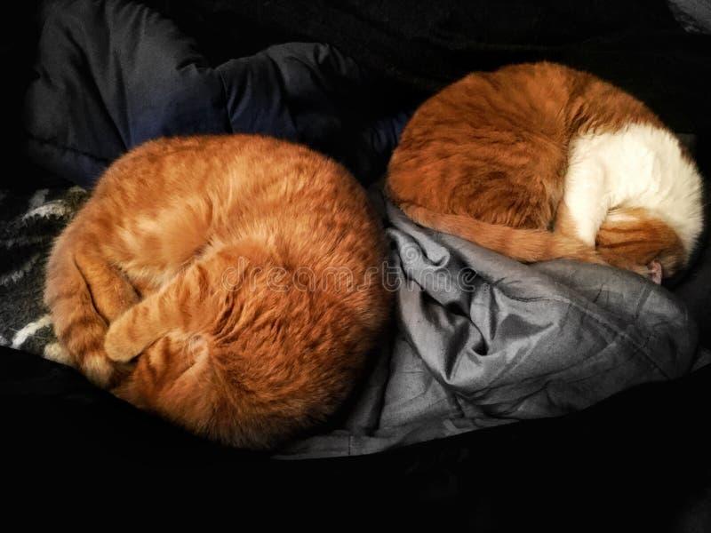 Sueño de los gatos fotografía de archivo