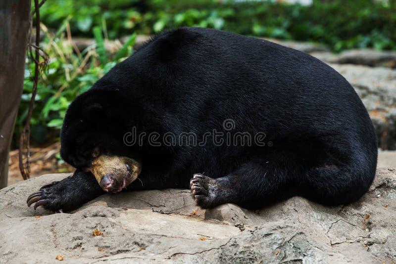 Sueño de los osos negros imagenes de archivo