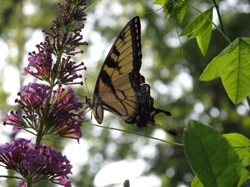 Sueño de Swallowtail fotos de archivo