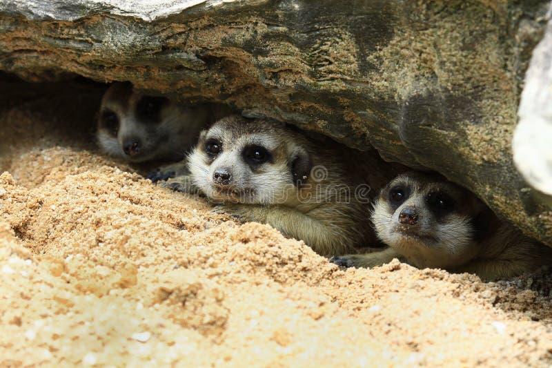 Sueño de tres meerkat imagen de archivo libre de regalías