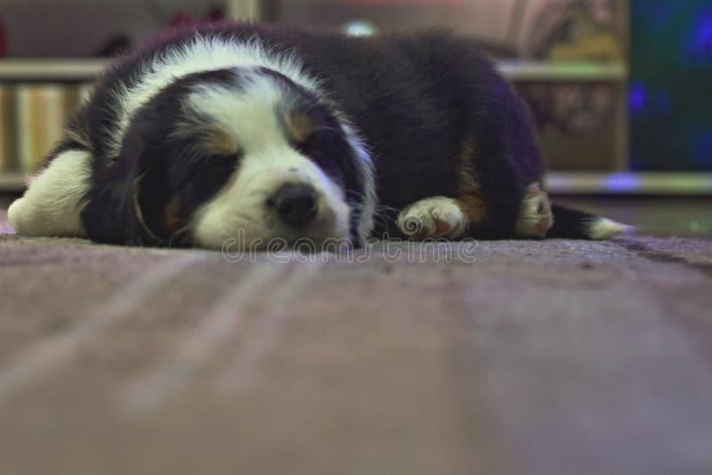 Sueño del border collie del perrito en una alfombra fotos de archivo