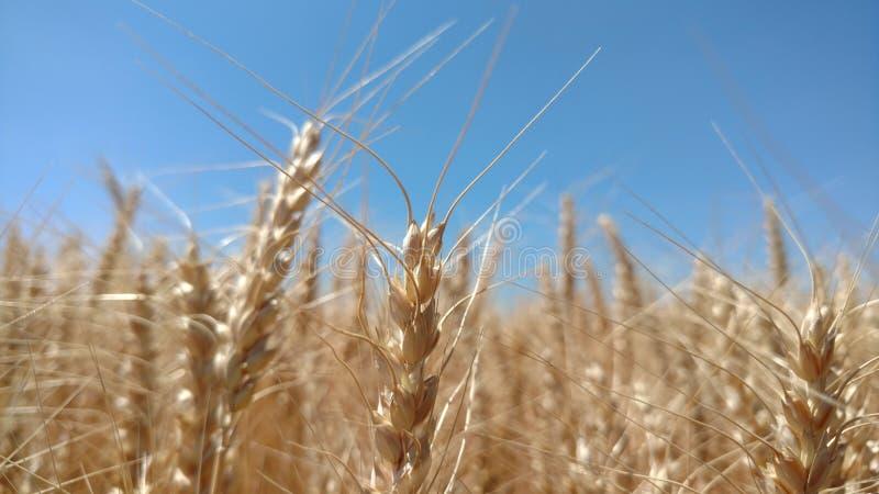 Sueño del trigo foto de archivo