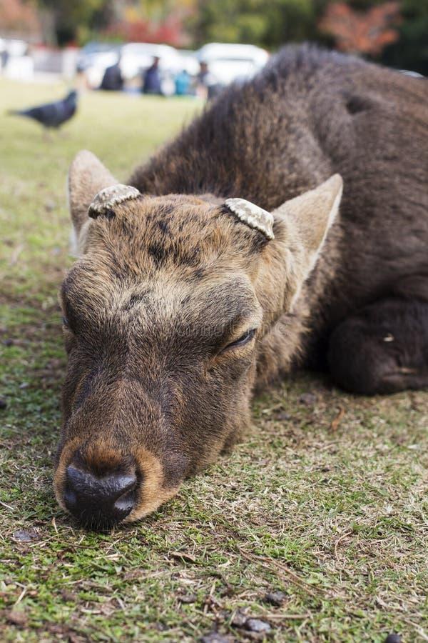 Sueño masculino grande de la asta del corte de los ciervos de Sika y mentira en el parque imagen de archivo libre de regalías