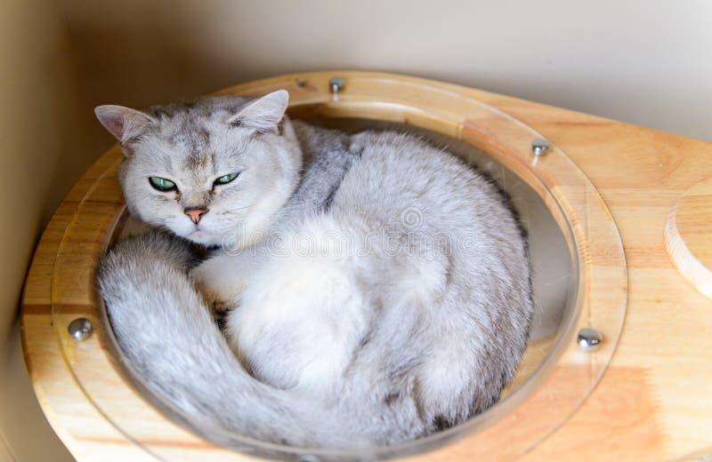 Sueño recto escocés gris lindo del gato en casa fotos de archivo libres de regalías