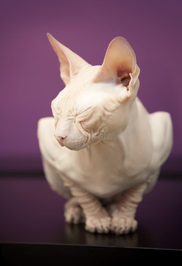 Sueños blancos del gato de la esfinge de Don foto de archivo