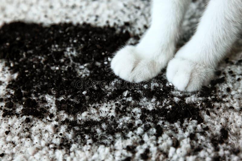 Suelo dispersado en las patas blancas del ` s de la alfombra y del gato imagen de archivo libre de regalías