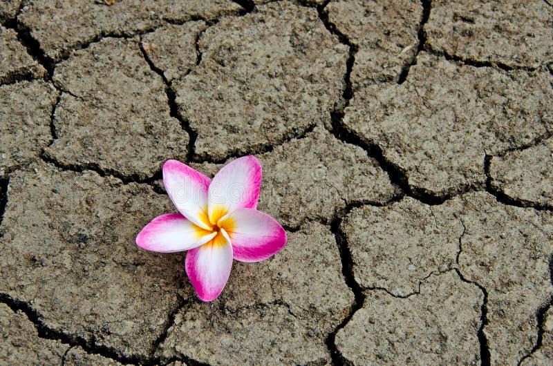 Suelo quebrado y secado con una flor del color de rosa del Plumeria foto de archivo libre de regalías