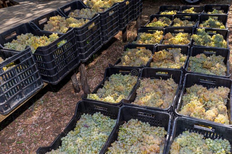 Download Suelo Siciliano Con Las Uvas Para La Cosecha De La Uva Foto de archivo - Imagen de crezca, azúcar: 100526014