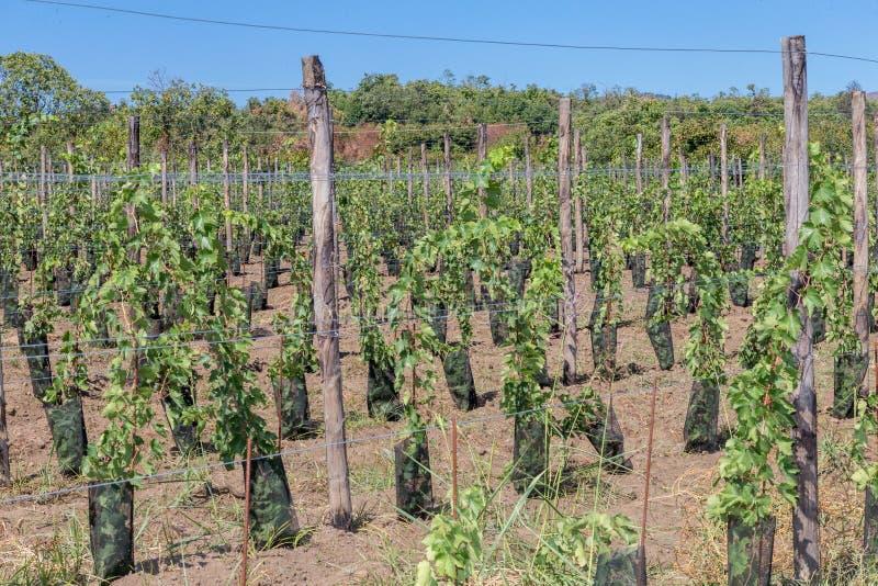 Download Suelo Siciliano Con Las Uvas Para La Cosecha De La Uva Imagen de archivo - Imagen de vino, siciliano: 100526101