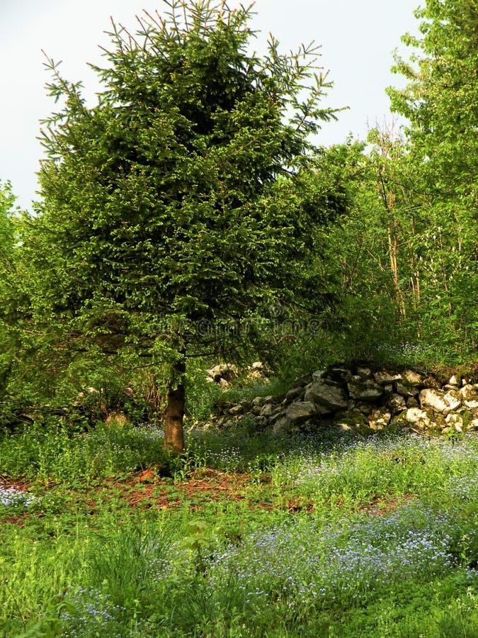 Suelo verde, prado con el azul olvidarme no en bosque fotos de archivo