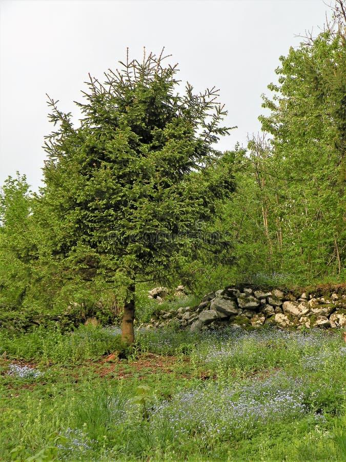 Suelo verde, prado con el azul olvidarme no en bosque imagenes de archivo