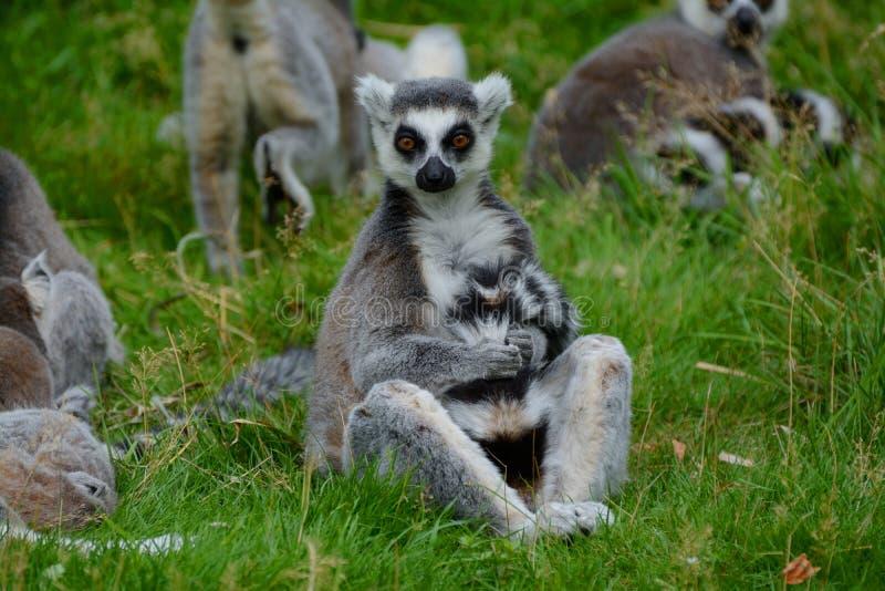 Suene el lémur atado que prepara su cola mientras que se sienta en un grupo de la familia foto de archivo