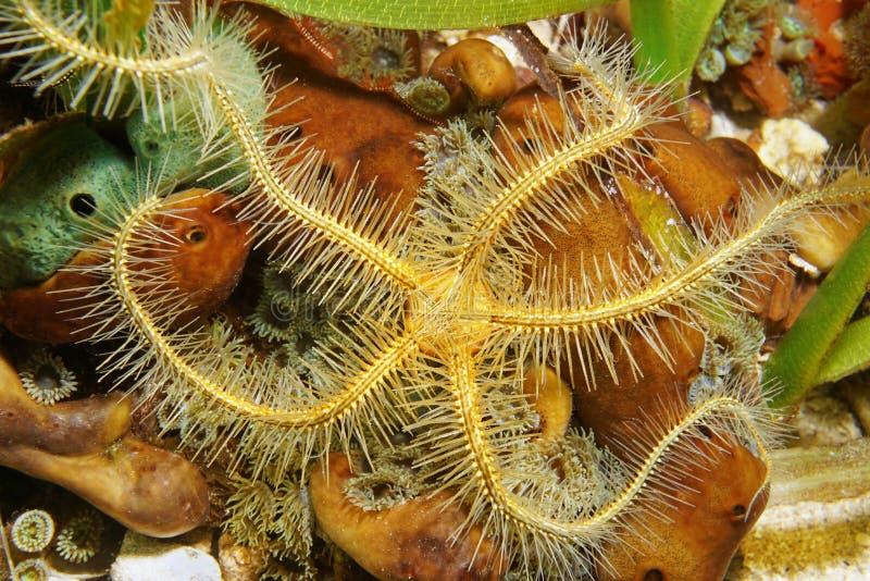 Suenson海蛇尾Ophiothrix suensoni关闭 免版税库存照片