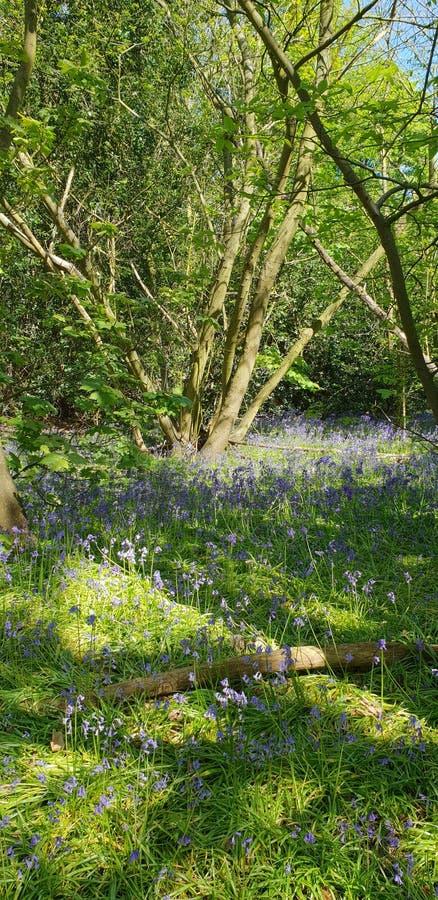 Suffolk azul de maderas de Bell fotografía de archivo