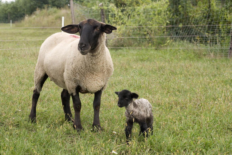 Suffolk baby sheep. With mother sheep on the farm stock image