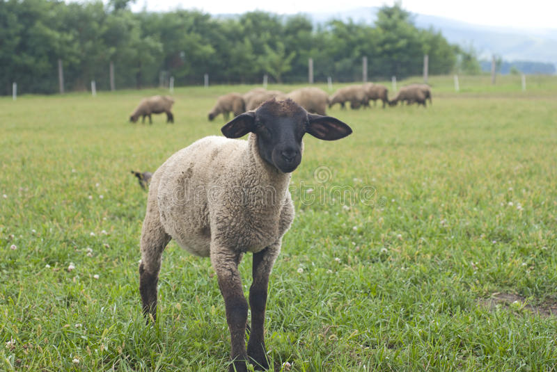 Download Suffolk baby sheep stock image. Image of breed, baby - 18175747