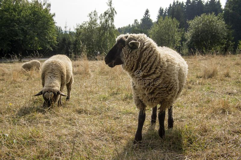 Suffolk black faced sheep grazing on pasture stock images